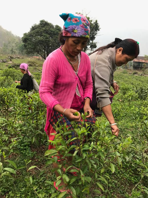 Cueillette du thé, Yanki Tea, Darjeeling