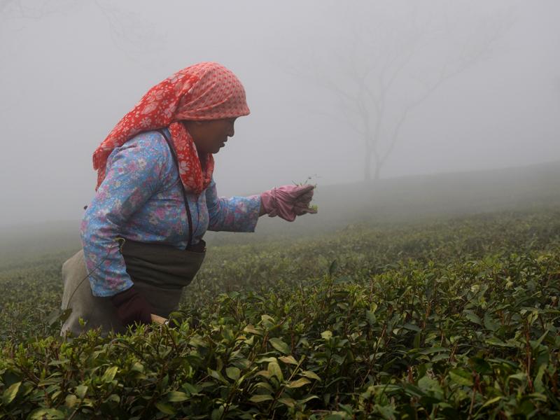 Cueilleuse de thé dans la brume