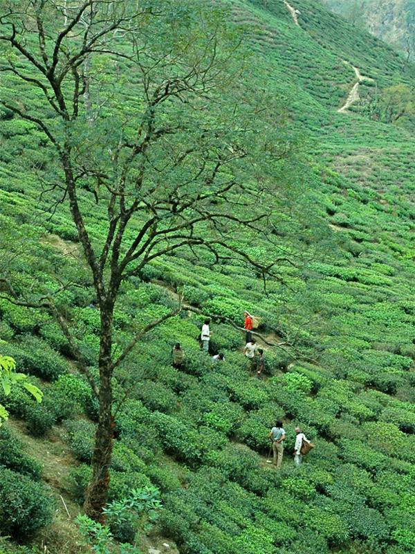 Jardin de thé Makaïbari