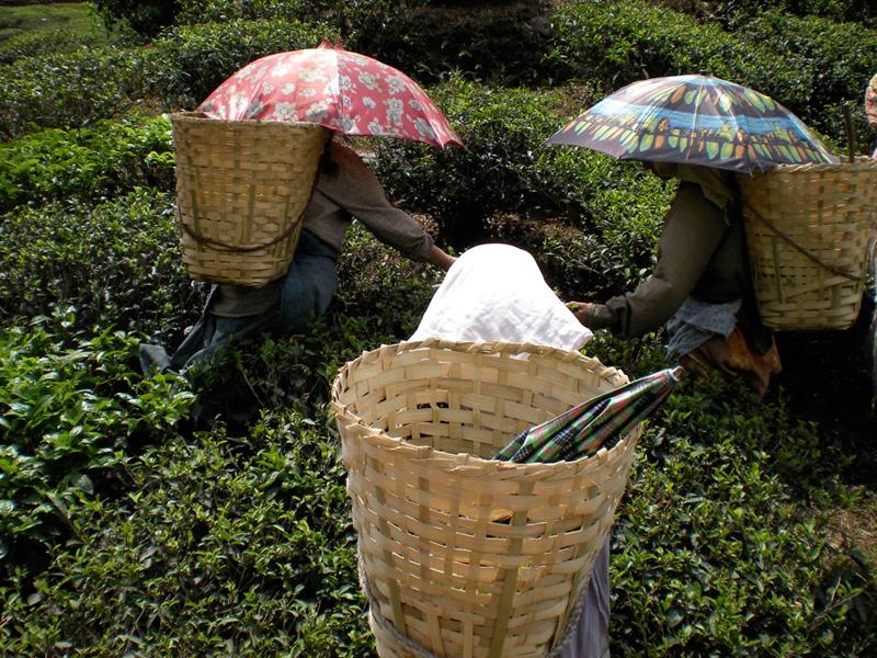 Cueilleuses de thé à Darjeeling