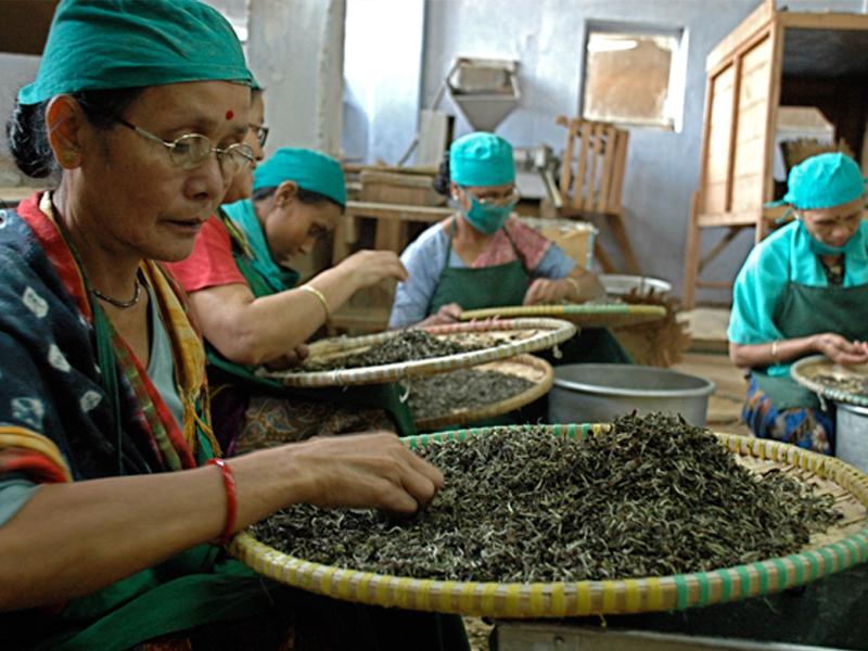 Tri des feuilles de thé à Darjeeling