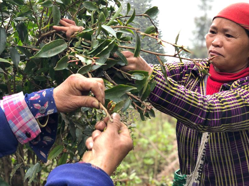 Cueilleuses de thé - Vietnam