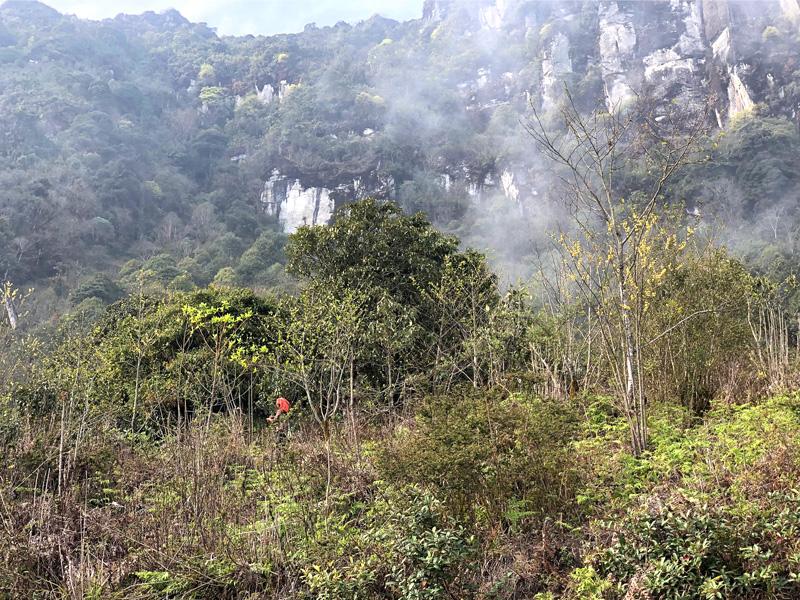 Théiers en pleine forêt - Vietnam