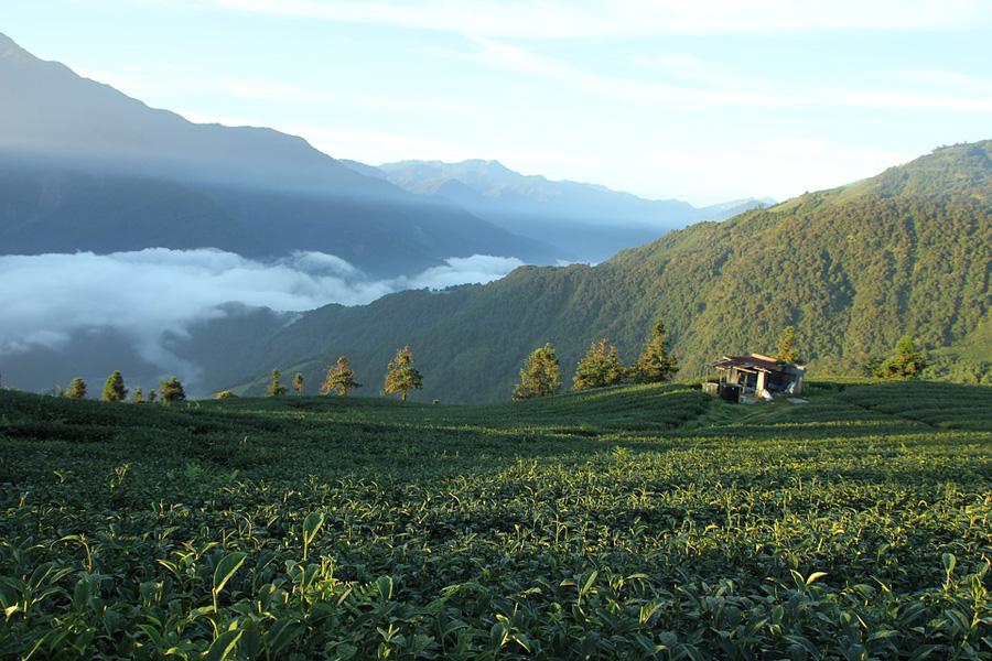 Plantation de thé au sud-est de la Chine