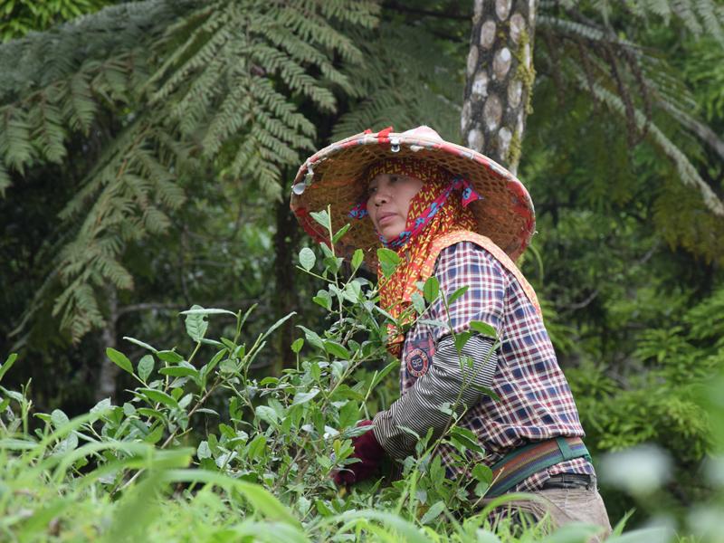 Cueilleuse à Taïwan