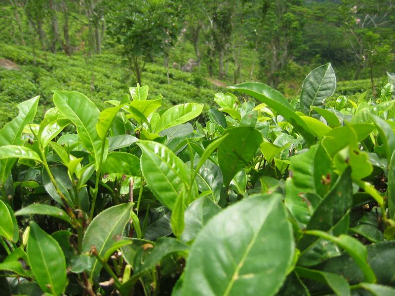 Le théier est une plante de la famille du camélia