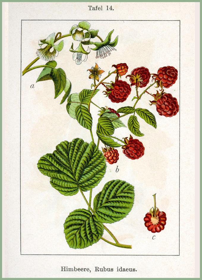 Les feuilles de framboisier apaisent les maux d'estomac