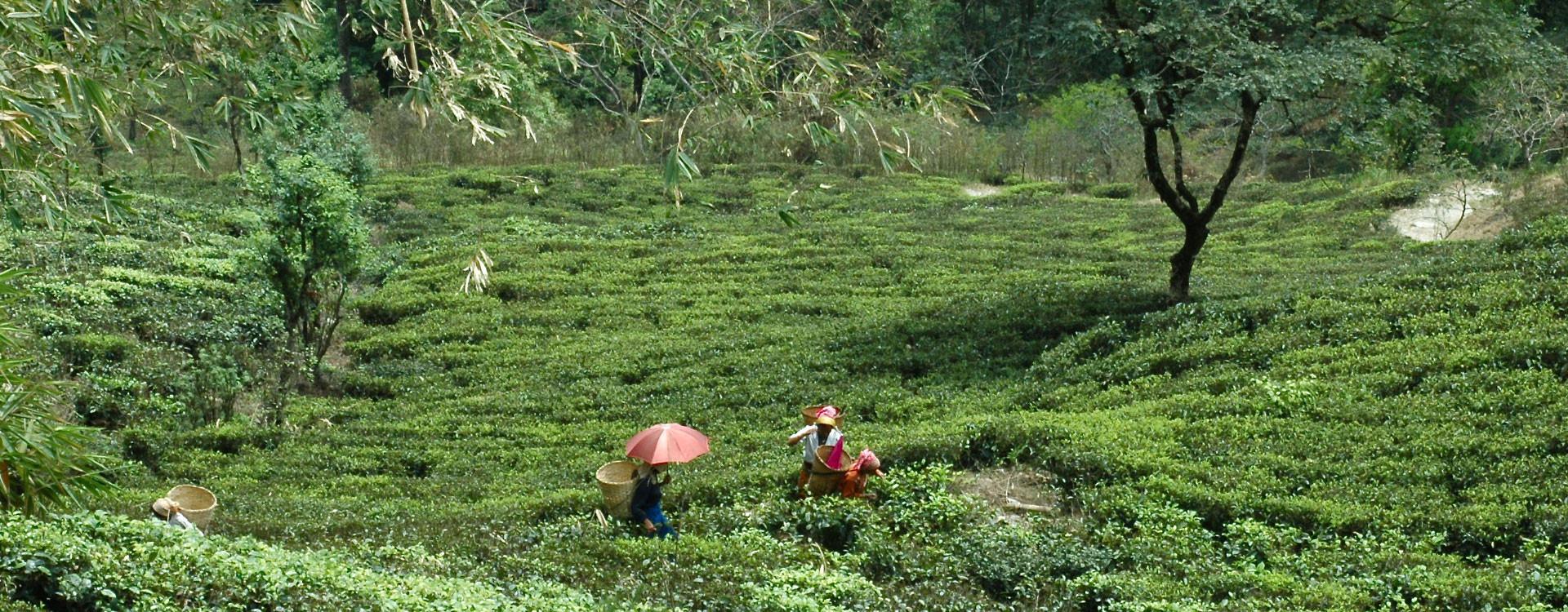 Darjeeling: aux sources du «champagne du thé»